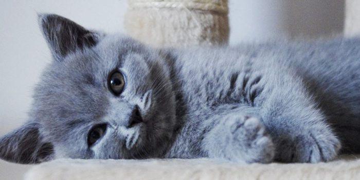 Hodowla kotów Brytyjskich KOCI CAŁUS